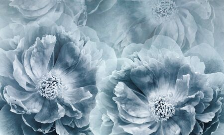 Floral  blue-white background. Flowers and peony petals. Flower composition. Place for text. Greeting card. Nature.