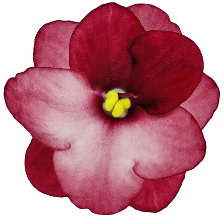 violets flower red. Flower isolated on a white background. No shadows with clipping path. Close-up. Nature.