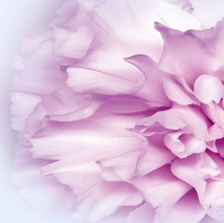 Floral white pink background.. Flower petals close-up. Nature.