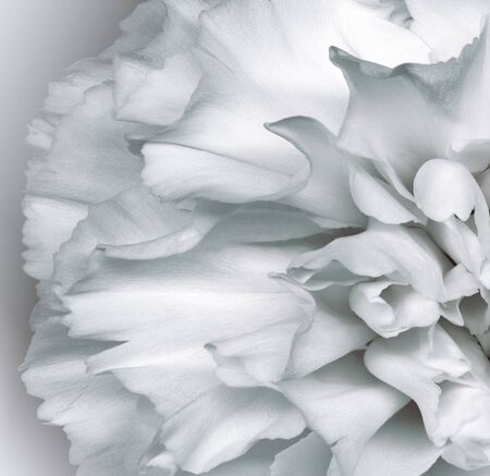 Floral white background.. Flower petals close-up. Nature.