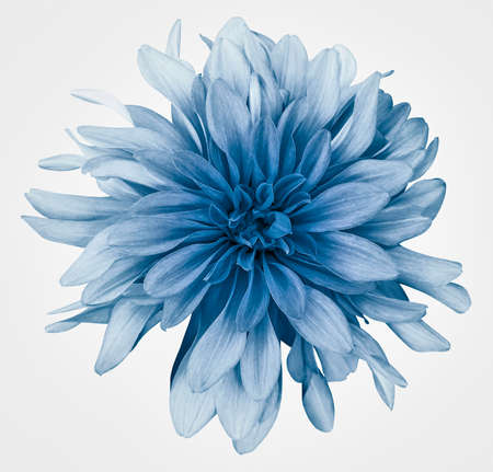 Light blue dahlia flower white background isolated with clipping path. Closeup. For design. Nature.