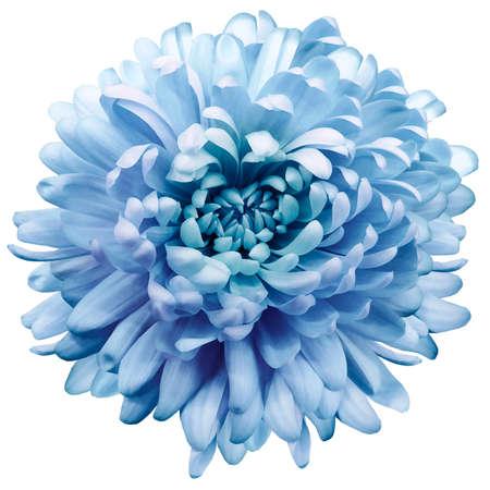 flower purple-blue chrysanthemum. Flower isolated on a white background. No shadows . Close-up. Nature. Standard-Bild