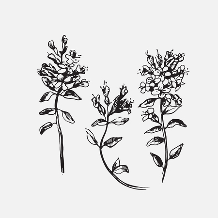 thyme: Engraved hand drawn illustrations of ornate thyme. Flower buds, leaves and stems.