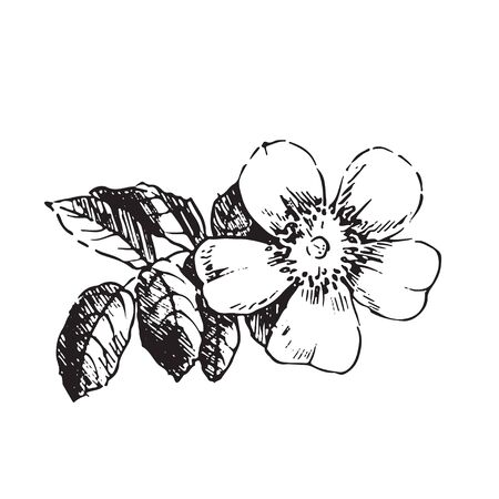 buds: Engraved illustrations of ornate rosehips. Flower buds, leaves and stems.