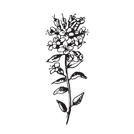 thyme: Engraved  illustrations of ornate thyme. Flower buds, leaves and stems.