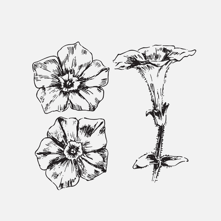 chamomile flower: Engraved hand drawn illustrations of ornate chamomile. Flower buds, leaves and stems. Illustration