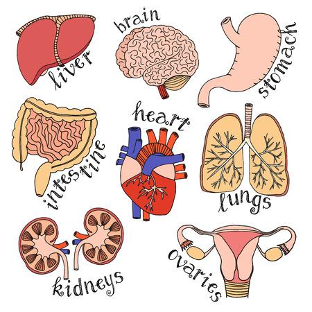 organos internos: Dibujado a mano conjunto de órganos internos aislados sobre fondo blanco