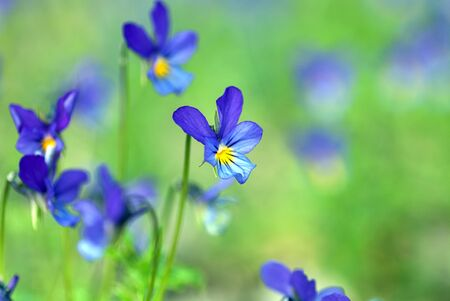 tiny blue wild pansy flowers on spring meadow (Viola tricolor L. Violaceae)