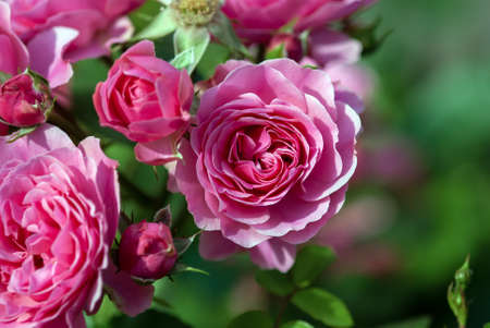 Pink Bulgarian Rose bush blooming in summer garden