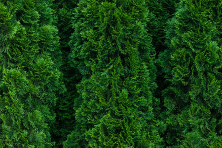 thuja hedge green texture background