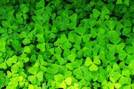 clover background, bright green botanical texture
