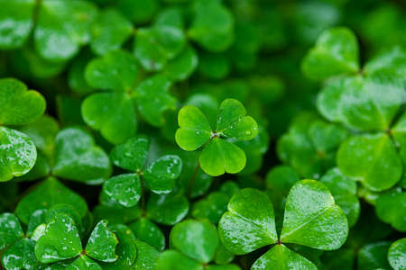 green clover leaves wet with rain