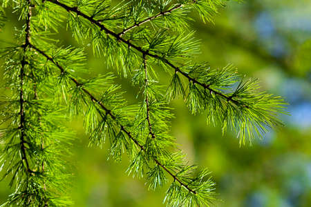 Larix decidua (European or common larch) green branches close up