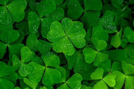 four leaf clover on green shamrock background