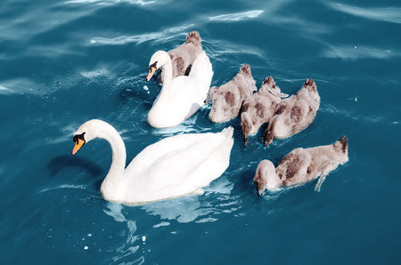 swans float in the lake photo