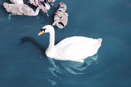 swan float in the lake photo