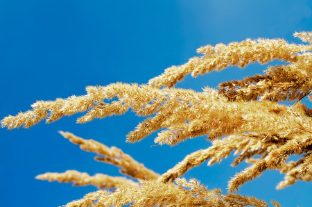 yellow grass against the sky photo