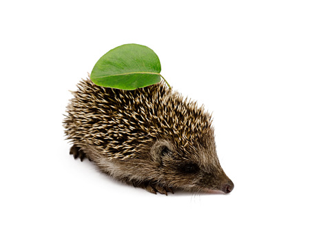 hedgehog with leaves on a white background photo