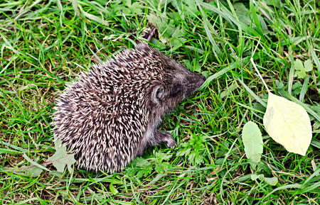 the little hedgehog sits in a grass photo