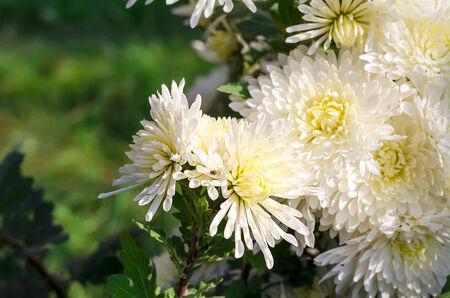white chrysanthemums photo