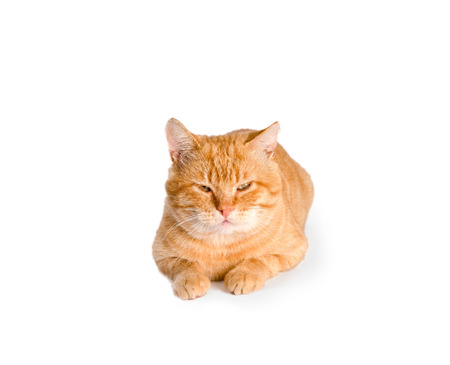 waiting posture: red cat  isolated Stock Photo