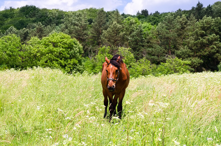 red horse: Portrait of red horse on field with flowers