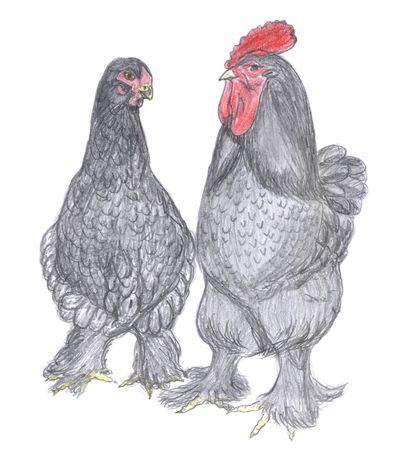 Rooster and hen, farm animal, sketch Stock Photo - 6405278