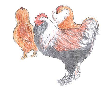 Różne rasy szkic rooster i kur niosek, zwierząt hodowlanych, Zdjęcie Seryjne - 6405277