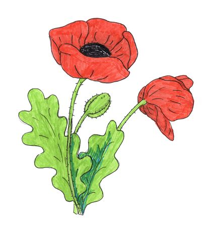 pencil plant: poppy flower drawing Stock Photo