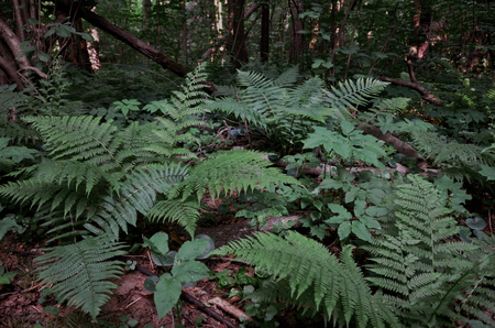 helechos: Ferns in the forest