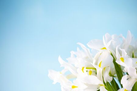 white irises in a bouquet on a bright blue background