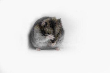 Syrian hamster close-up on white background Stockfoto