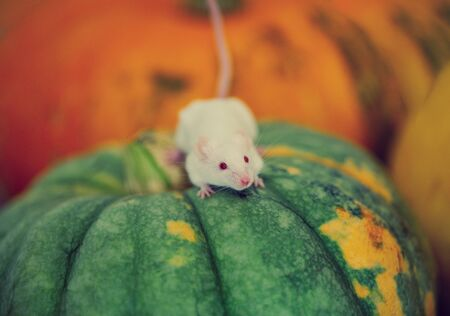 white mouse sitting on a pumpkin close-up