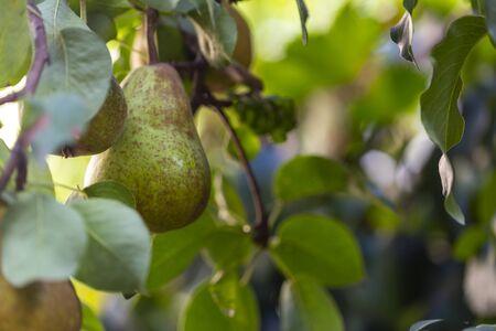 organic pears on a pear tree close-up Stockfoto