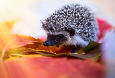 small hedgehog in autumn leaves close-up