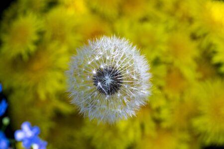 dandelions close-up, a bouquet of dandelions close-up Reklamní fotografie