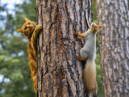 a red cat tries to hunt a squirrel in a pine forest in the garden Imagens