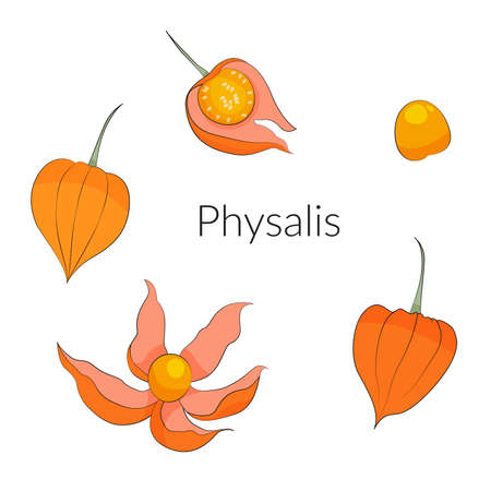 Physalis berries and leaves set, superfoods stock vector illustration. 向量圖像