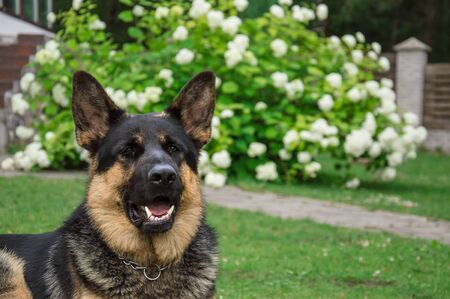 German adult shepherd. The dog plays on a green lawn.