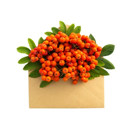 sorb: Rowan in the envelope isolated on white background. love letter. Autumn composition.