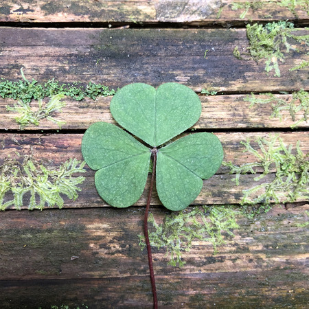 Clover on a brown wooden background.