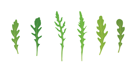Set of arugula rucola, rocket salad fresh green leaves isolated over white background. Vector hand drawn illustration.