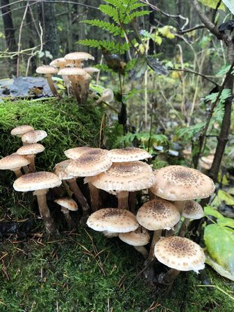 Edible forest mushroom - Armillaria mellea. Autumn mushrooms