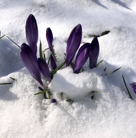 Spring crocus flowering from the snow Zdjęcie Seryjne