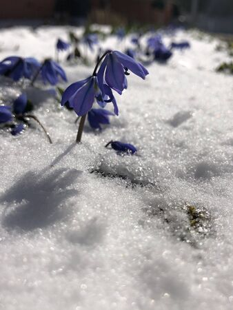 Blue snowdrops grew in spring from under the snow. Selective focus