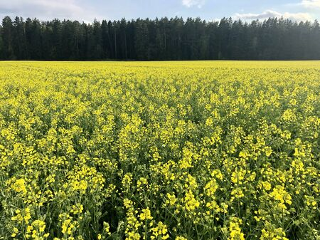 Yellow field rapeseed plantation, rape crop. Rapeseed field near the forest. Zdjęcie Seryjne