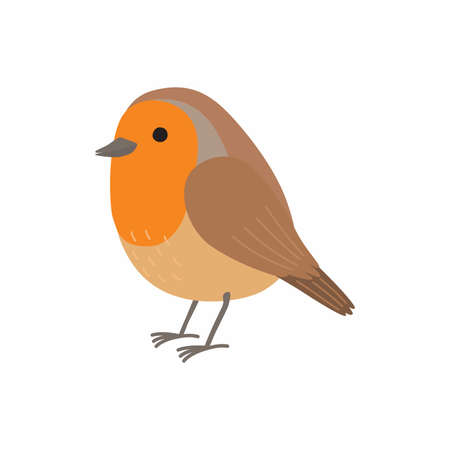 Robin bird. Vector illustration isolated on white background.