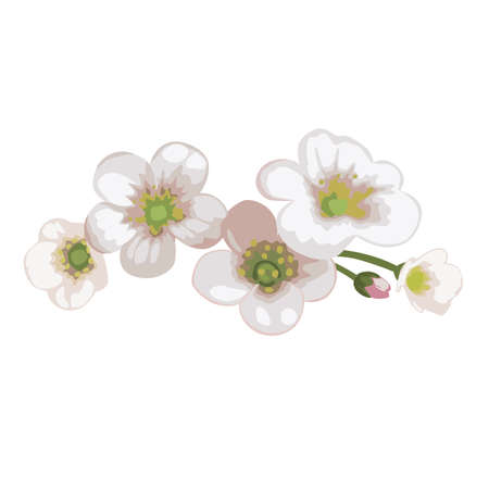 Flowers white meadow Saxifrage. Vector illustration isolated on white background.
