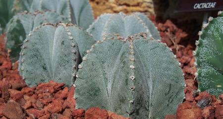 Astrophytum myriostigma, Cactus.  Close Up. Stock Photo
