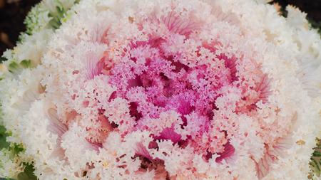 calmness: Flowering cabbage. Closeup. Background. Stock Photo